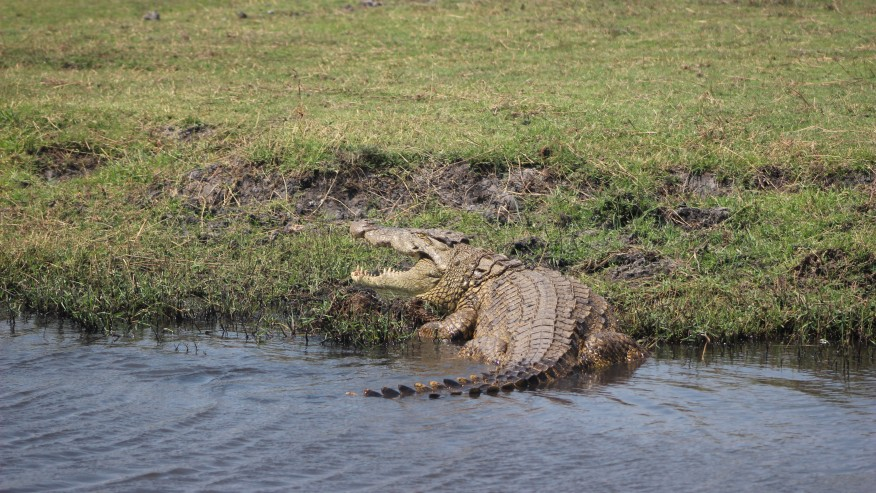 Chobe River Crocs