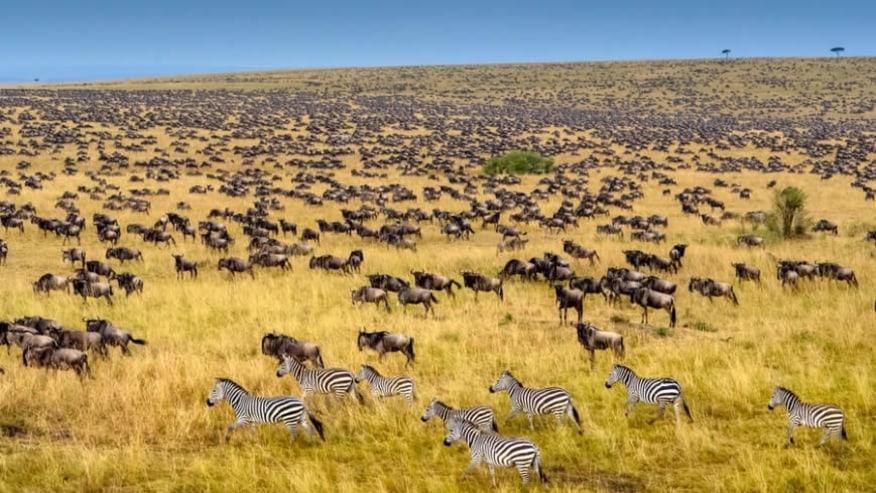 The GreatREAmigration of zebras & wildebeeste
