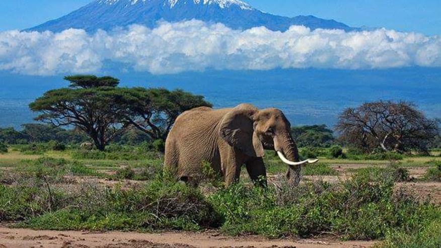 Elephant -Mount Kilimanjaro in the Background
