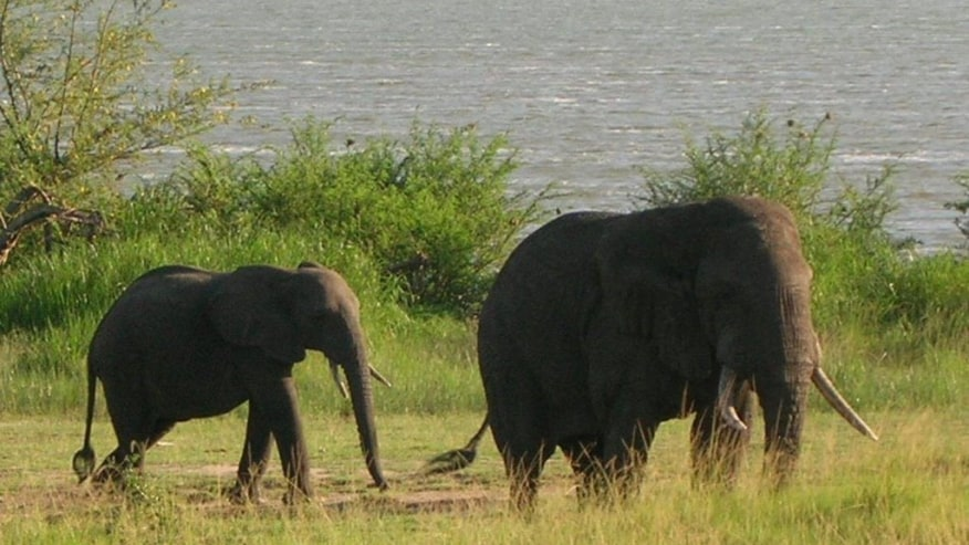 Elephants grazing by the river at Kazinga channel; uganda wildlife safari destination