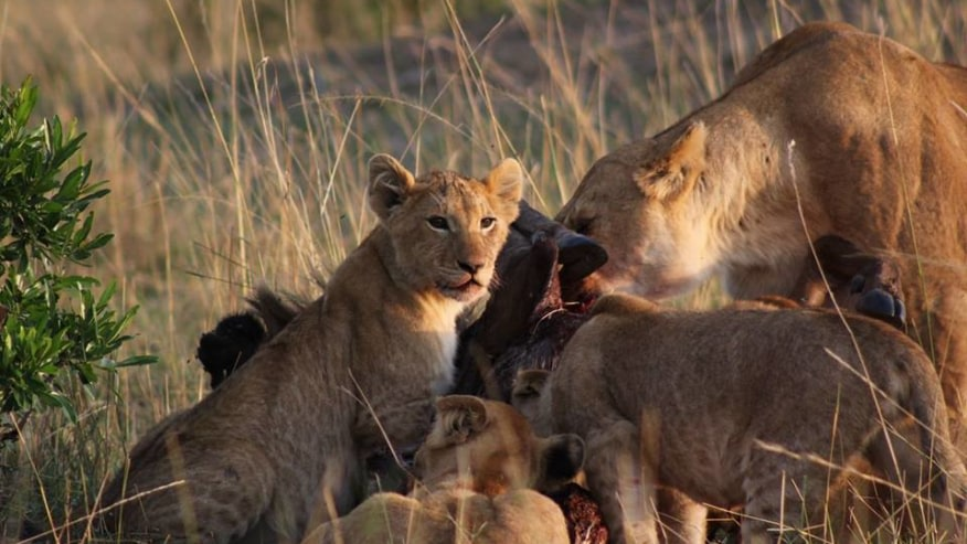 Lions enjoying their Kill