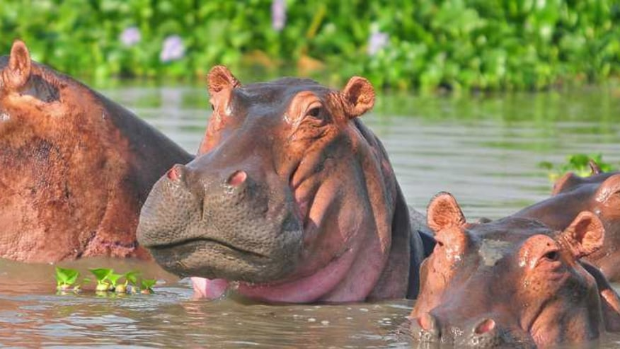 Hippo safaris Experience in Kazinga Channel of Queen Elizabeth national park