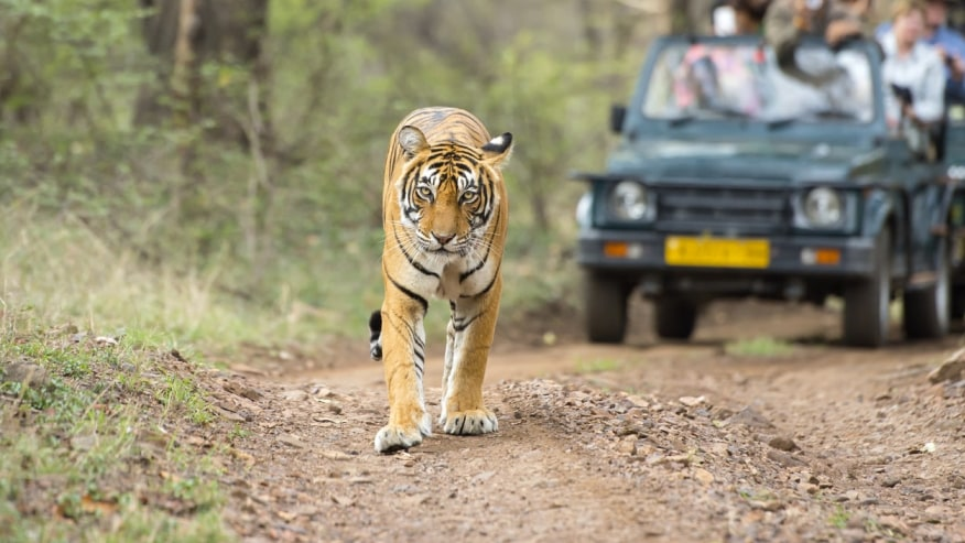 The Great Indian Tiger