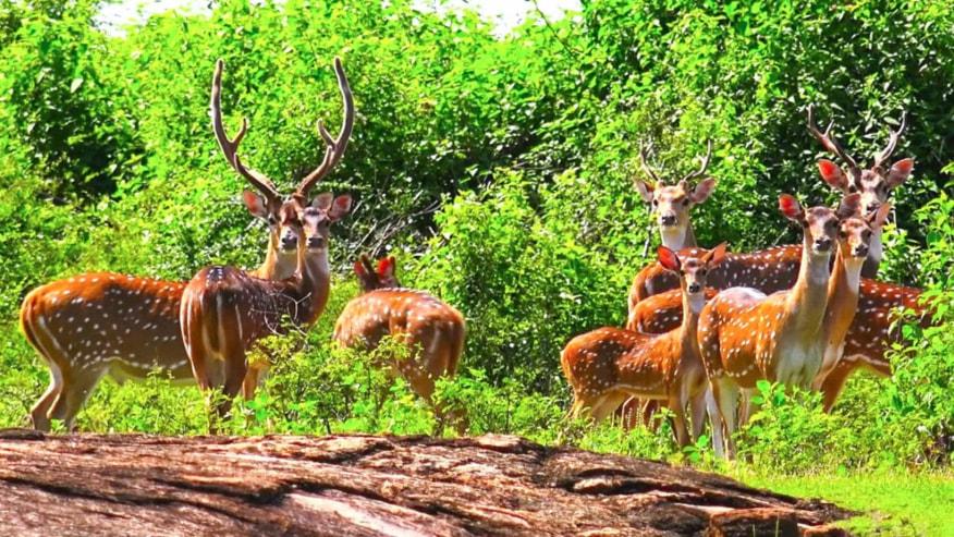 spotted deer herd