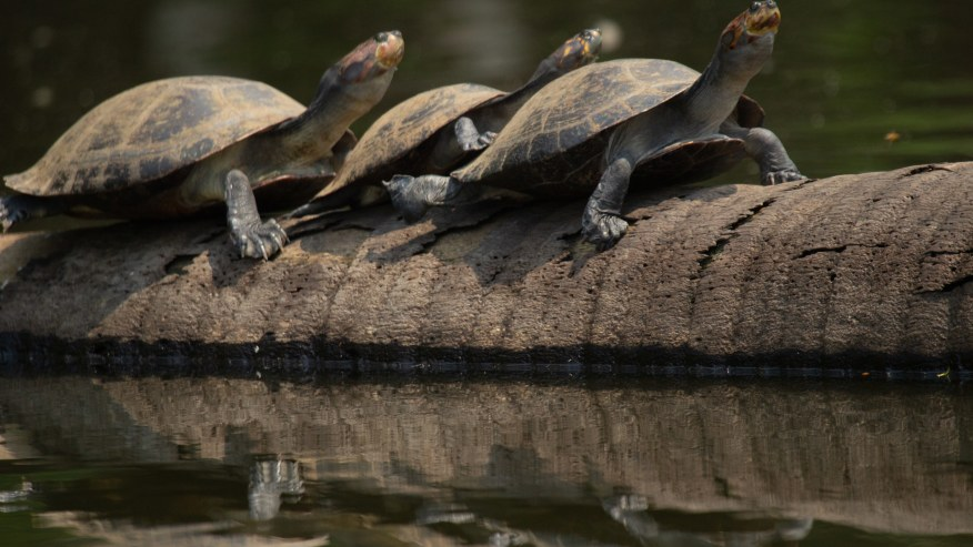Taricayas turtles sunbathing in a sunny day at Lake Sandoval