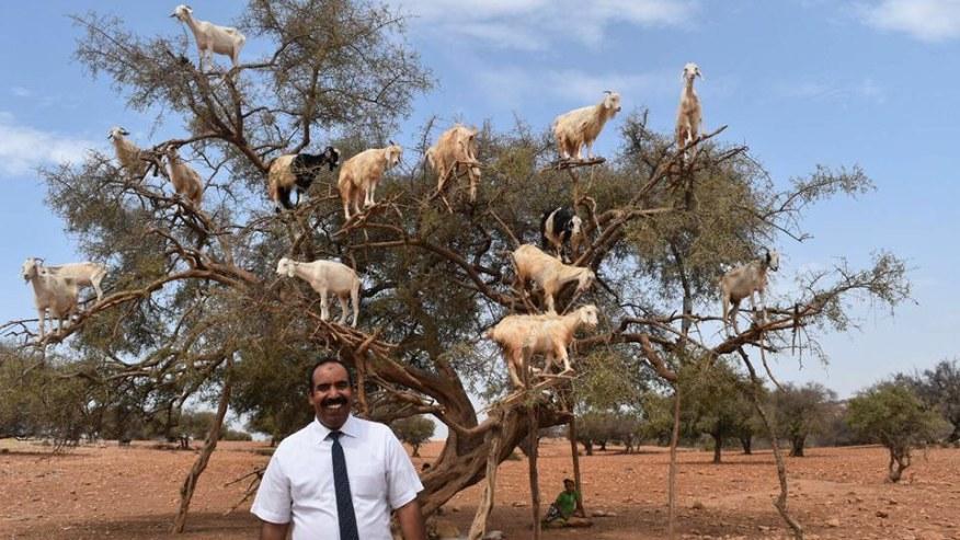 Goats on Argan tree