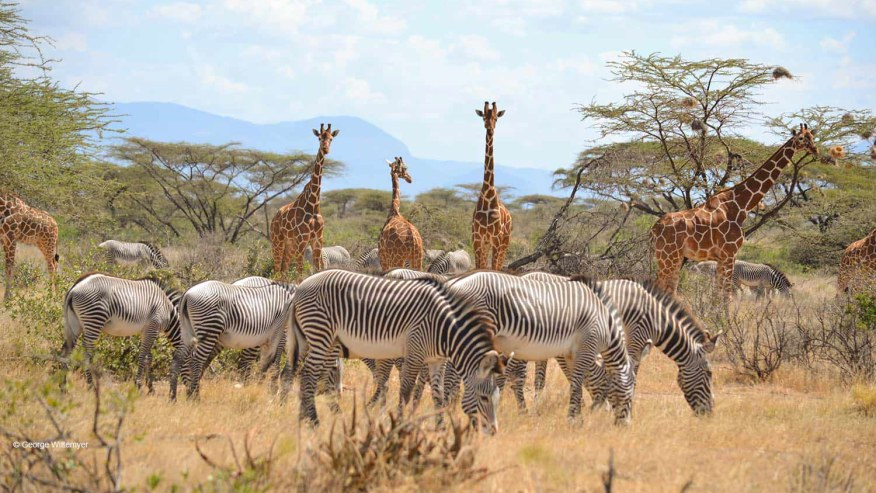 Giraffes and Zebras grazing together