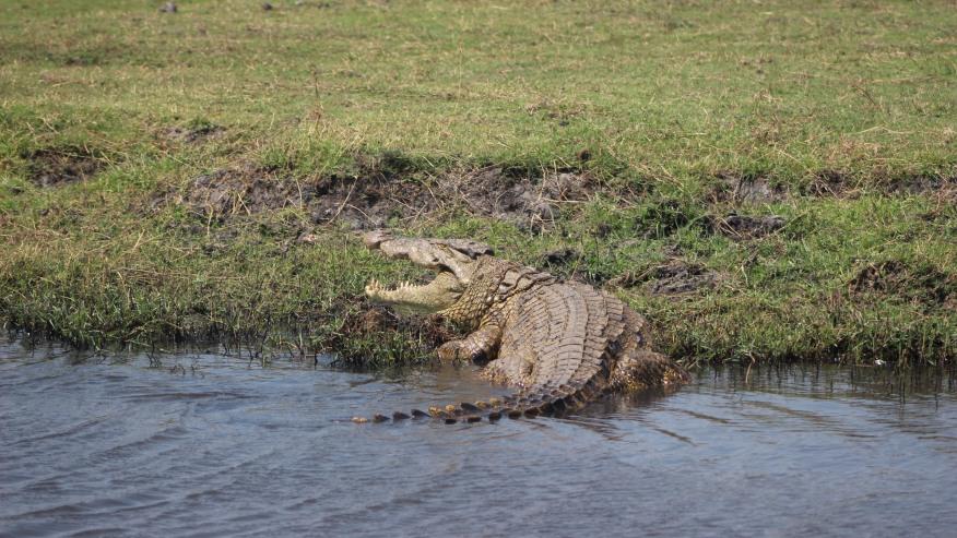 The Chobe Crocs