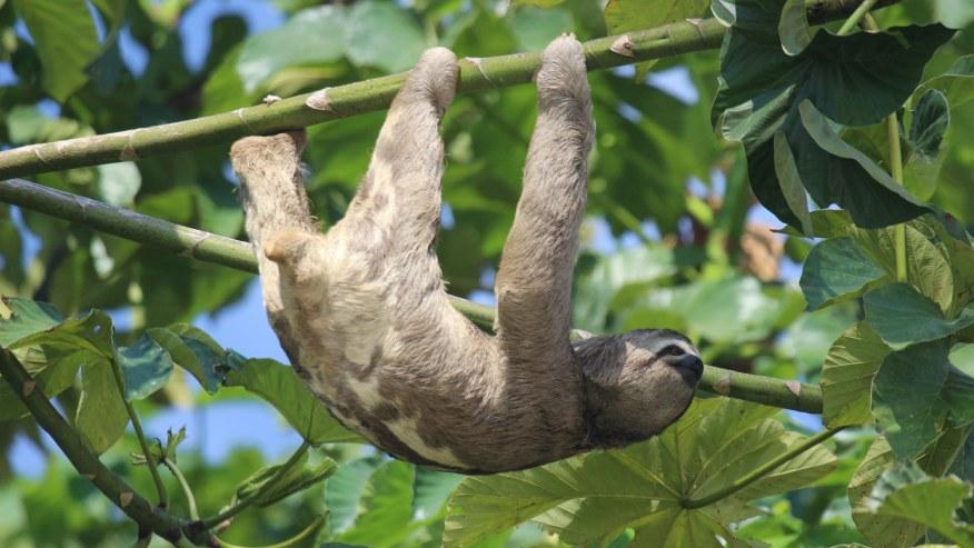 Three-toed sloth on the tree - Tambopata River Tour