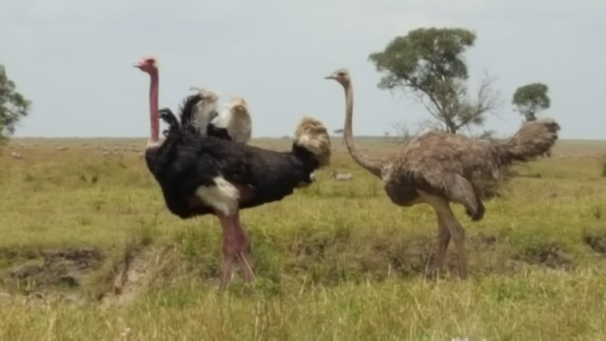 Ostriches on a trot