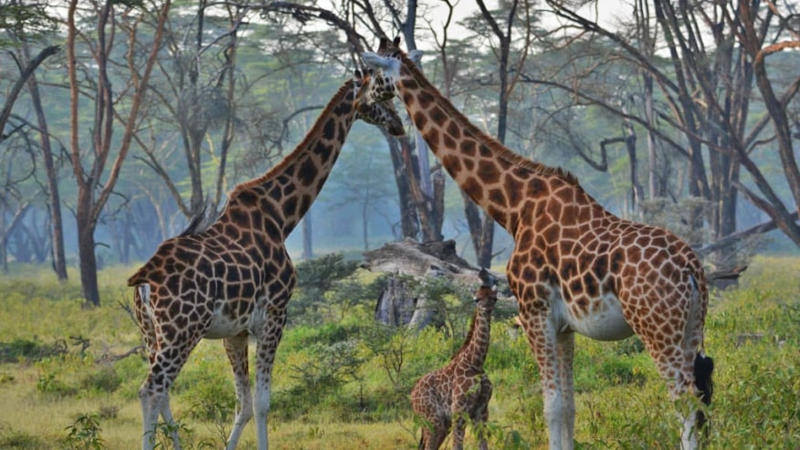 Rothschild Giraffes at Lake Nakuru National Park