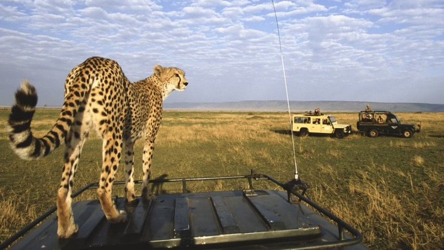 cheetah on top of the vehicle