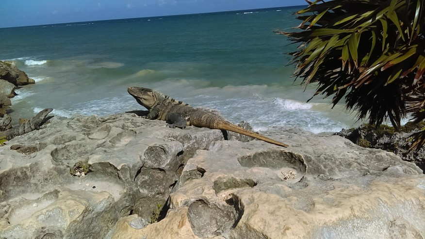 One of the dozens of Spiny Tail Iguanas in the site (Left Female, Center Male).