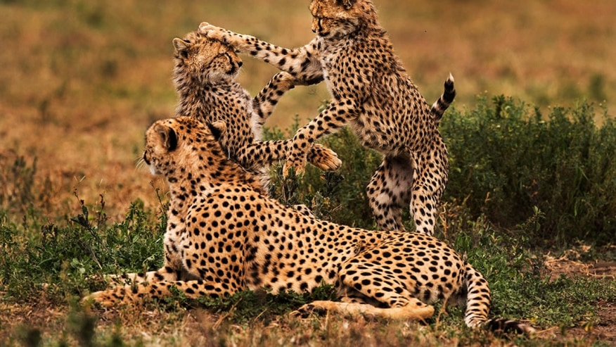cheetahs playing with each other