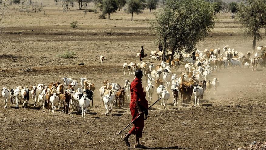 Masai member tending cattle