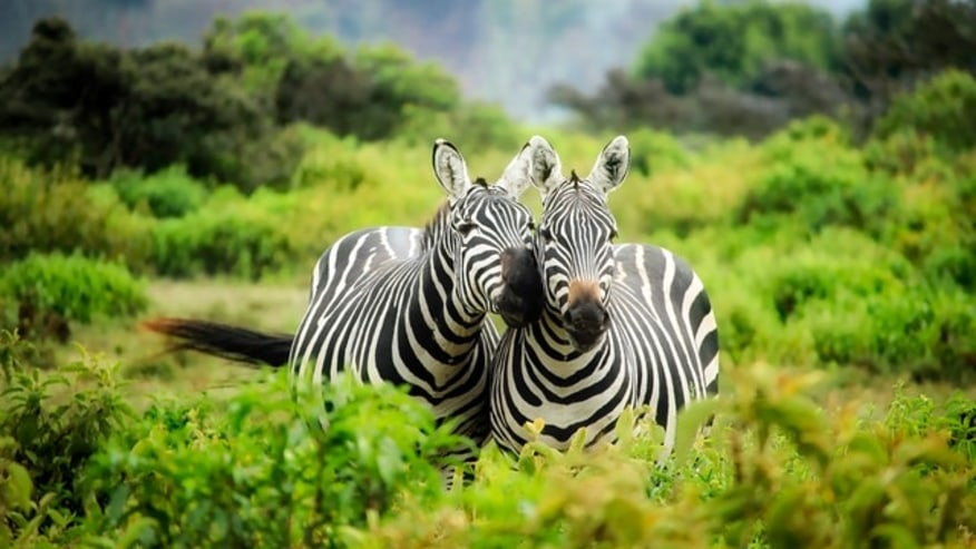 zebras mingling around