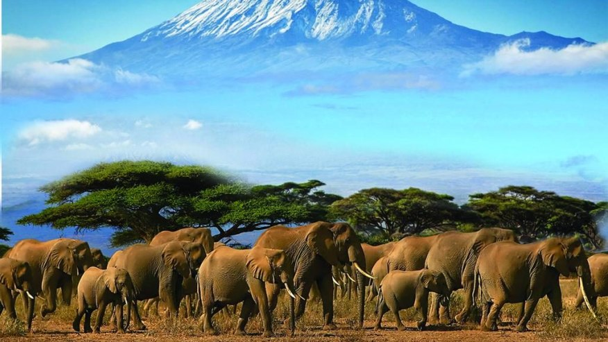 Elephant Herd grazing the Vast park, with Kilimanjaro forming a magnificent back drop