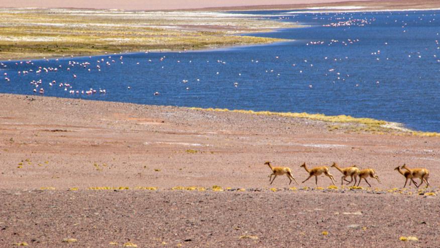 Vicuñas in Laguna Santa Rosa