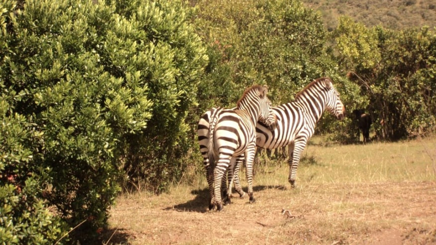 Zebras in the Mara