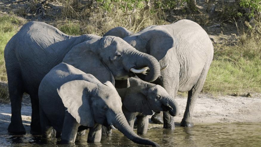 Elephants by the Chobe River