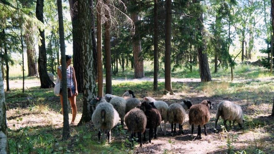 The human friendly sheep that roam the island