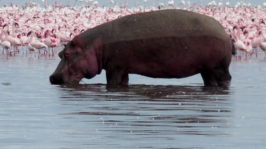 Hippopotamus and flamingos
