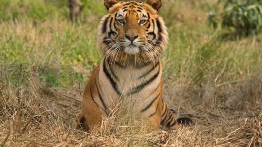 Roar of Bengal Tiger