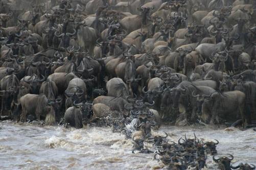 Masai Mara Wildebeest Migration 2015