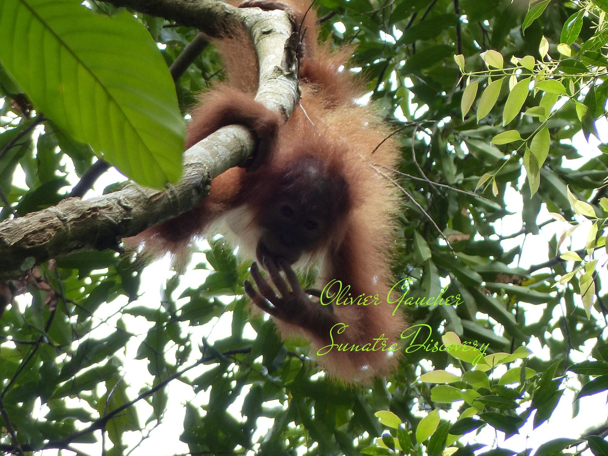 Bukit Lawang Orangutan Adventure