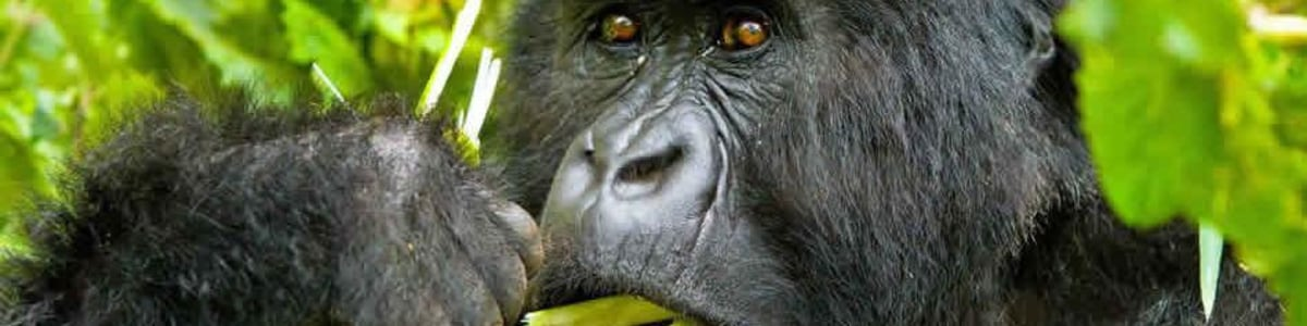 Gorilla-Safaris-Adventure-in-Uganda