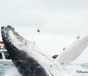 HUmpback Whale in Machalilla National Park