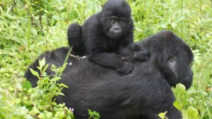 Baby Gorilla with its mother