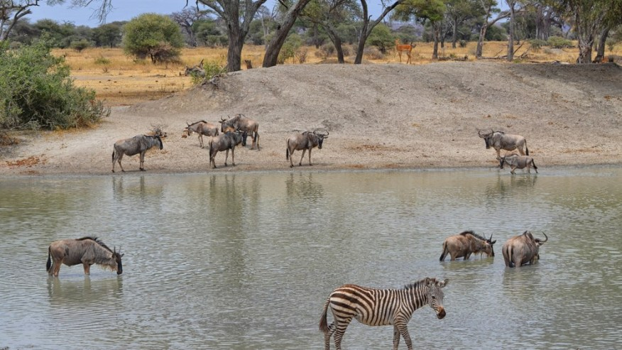 Wildebeest & Zebras at waterings point