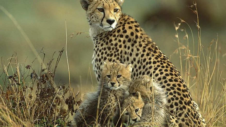 Cubs and mother.