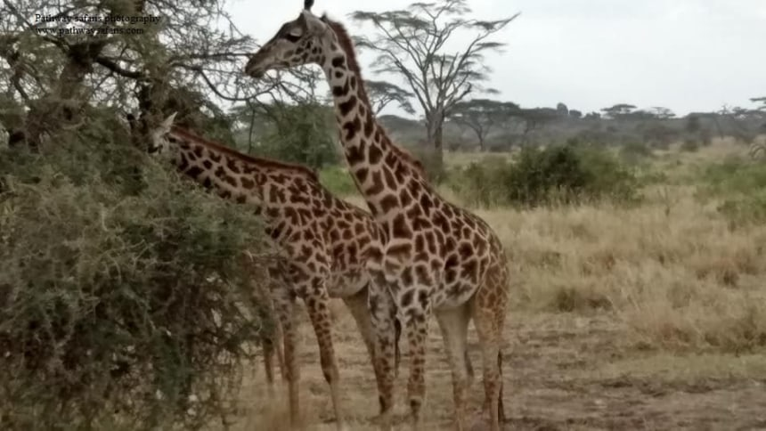 Giraffe spotting