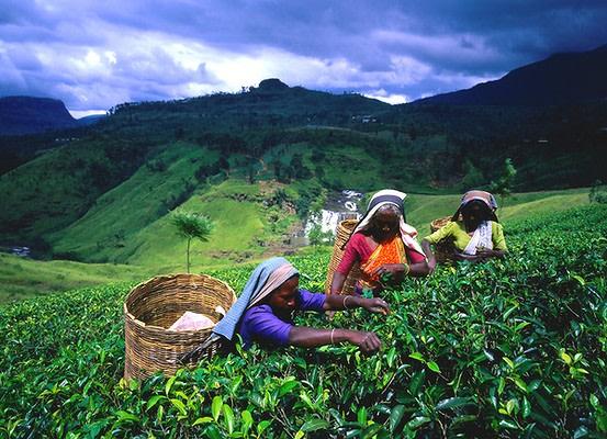 World best tea