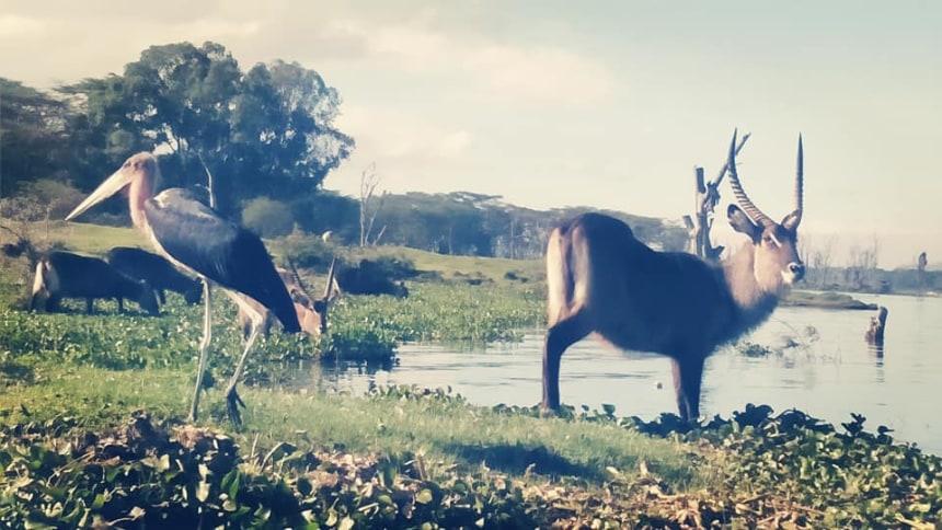 Waterbuck and Marabou stork at the lake