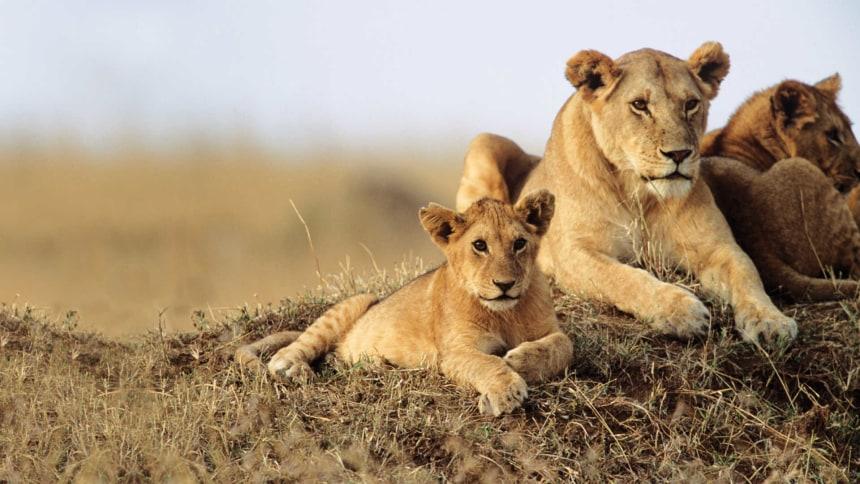Lion spotting