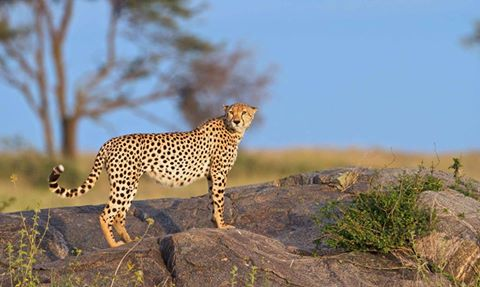 Cheetah on a rocky cliff