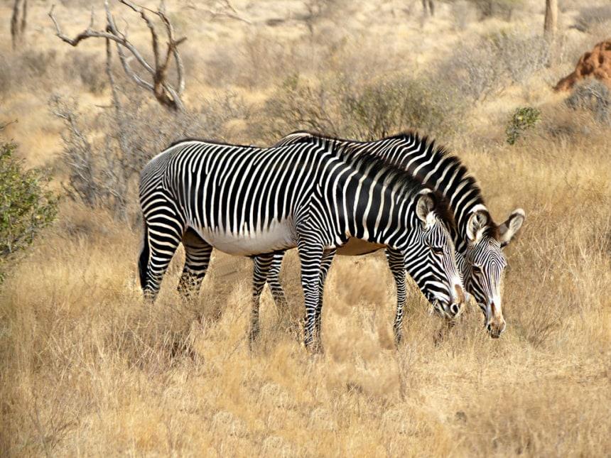 Zebra spotting