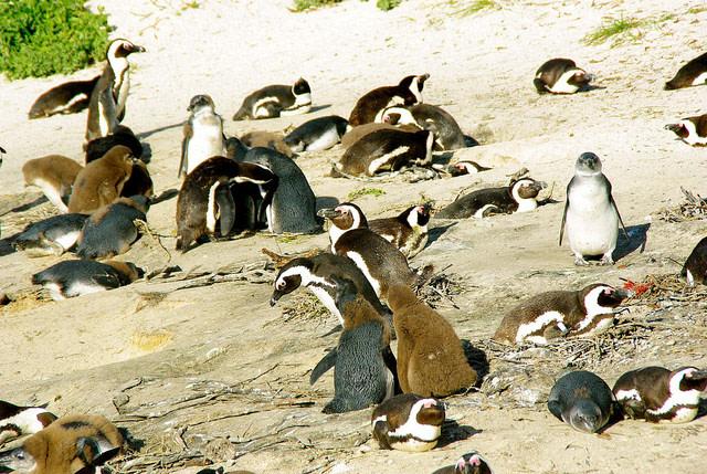 Penguins at Boulders