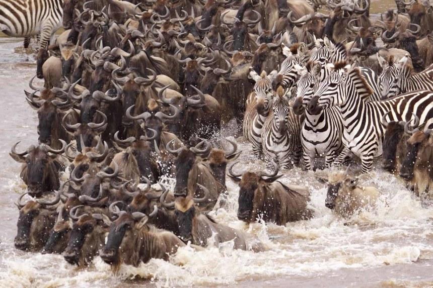 Wildebeest and Zebras