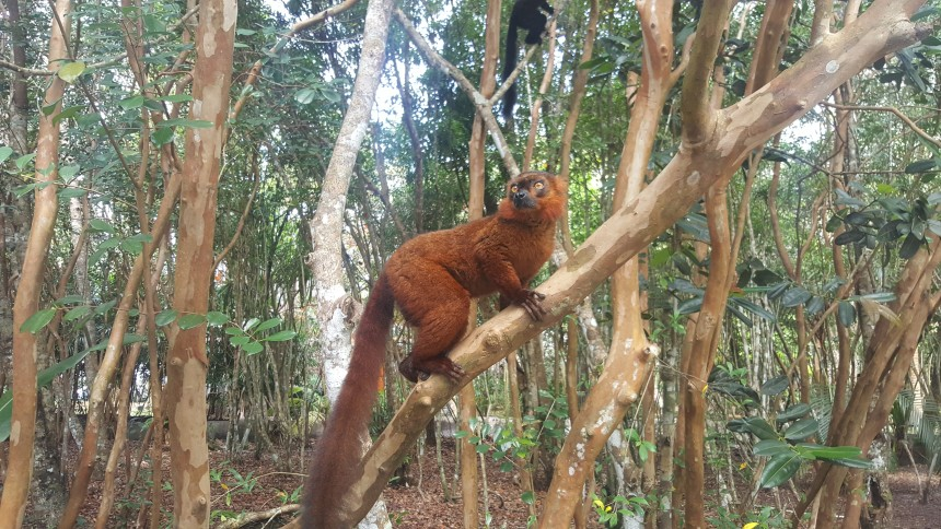 Red-belled lemur