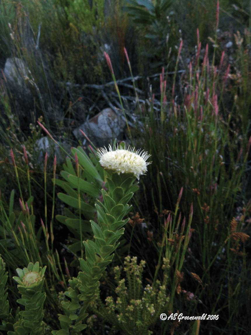 Diastella thymelaeoides subsp. thymelaeoides