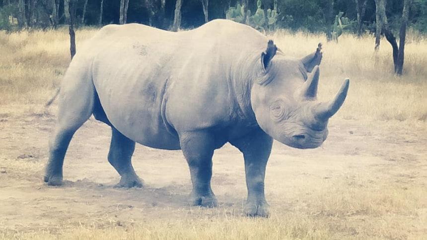 Baraka, the blind Rhino - Ol pejeta