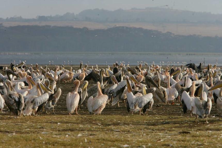 flamingoes at Nakuru