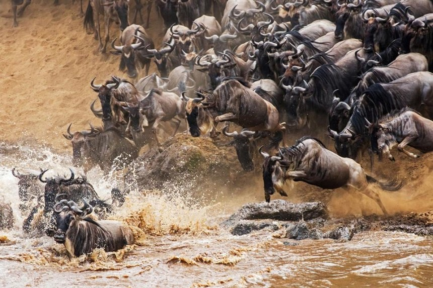 Wildebeest and Zebras yearly migration