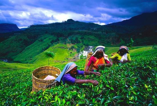 Lush tea gardens in Kandy