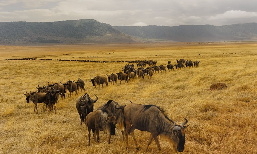 Wildebeest moving in thousands Masai Mara