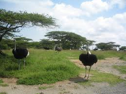 ostriches Abiata-Shala National Park